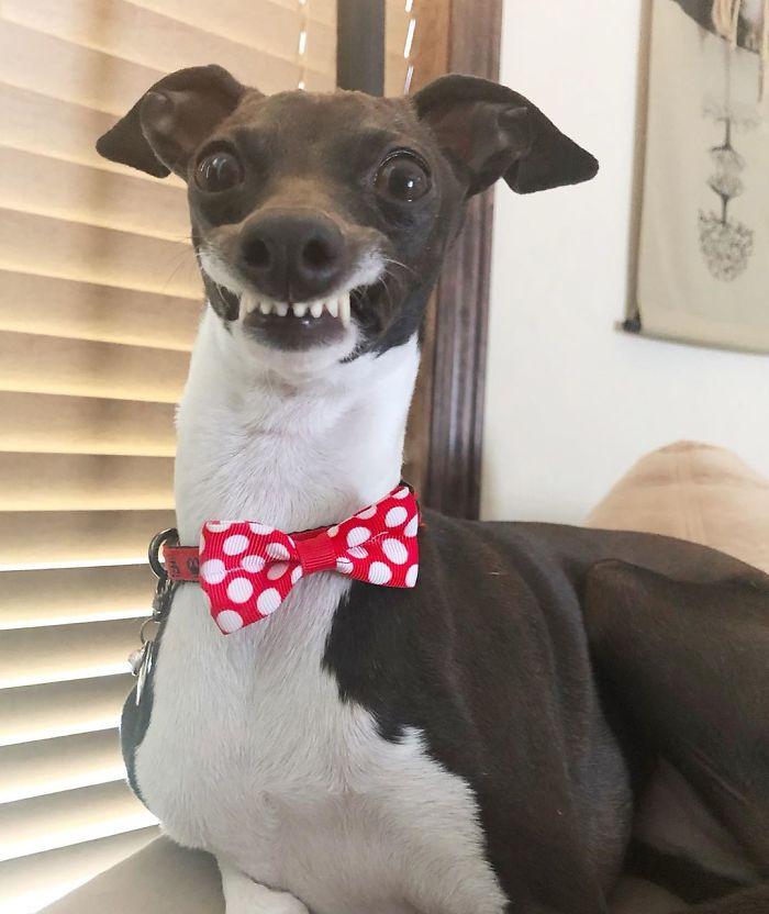 当灵缇犬优雅起来
