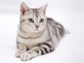怎么购买挪威森林猫?选购挪威森林猫的窍门