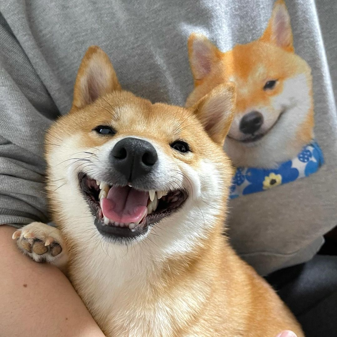 Ins上超可爱的柴犬marutaro,高清可爱的照片分享(12张)